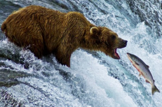 grizzly-bear-hunting-salmon-320x212