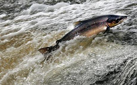 Magnetic fields draw salmon to spawning grounds...Embargoed to 2200 Monday December 1. File photo dated 14/09/2008 of an Atlantic Salmon jumping in the Could on the Ettrick river near Selkirk in the Scottish Borders. PRESS ASSOCIATION photo. Issue date: Monday December 1, 2008. One of nature's greatest mysteries could be about to be solved after scientists today revealed a new theory on how salmon find their way home. Salmon and some species of sea turtle migrate vast distances back to the places they hatched in order to reproduce. Marine biologists on the study propose that once turtles and salmon reach adulthood they use the magnetic field and the imprinted magnetic memory of their birthplace, learnt in infancy, to navigate home in a process called natal homing. See PA story SCIENCE Salmon. Photo credit should read: David Cheskin/PA Wire
